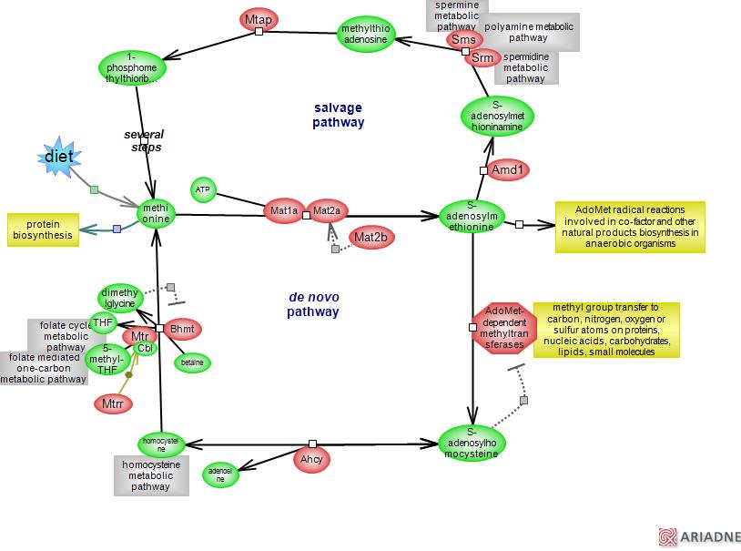 Methionine Cycle  Metabolic Pathwayrat Genome Database