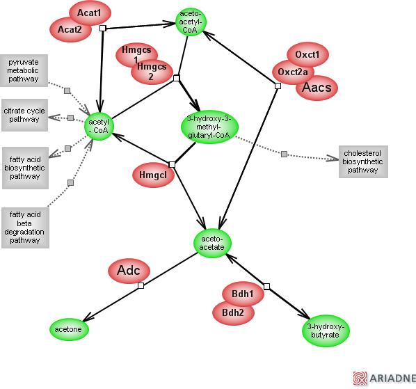 Ketone Bodies Metabolic Pathwayrat Genome Database
