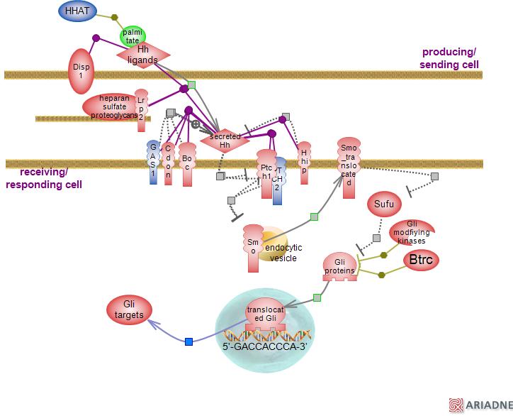 Map2k1 Pathway.Hedgehog Signaling Pathwayrat Genome Database