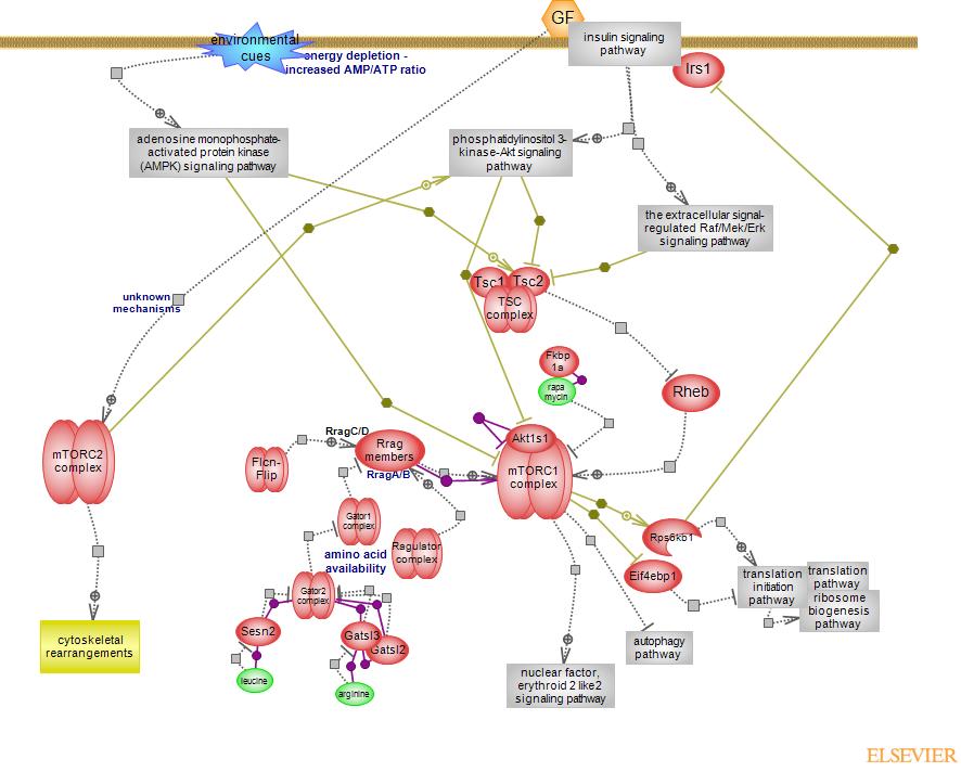 Map2k1 Pathway.Mtor Signaling Pathwayrat Genome Database