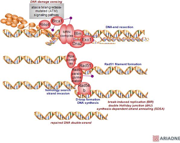 homologous recombination pathway of double-strand break
