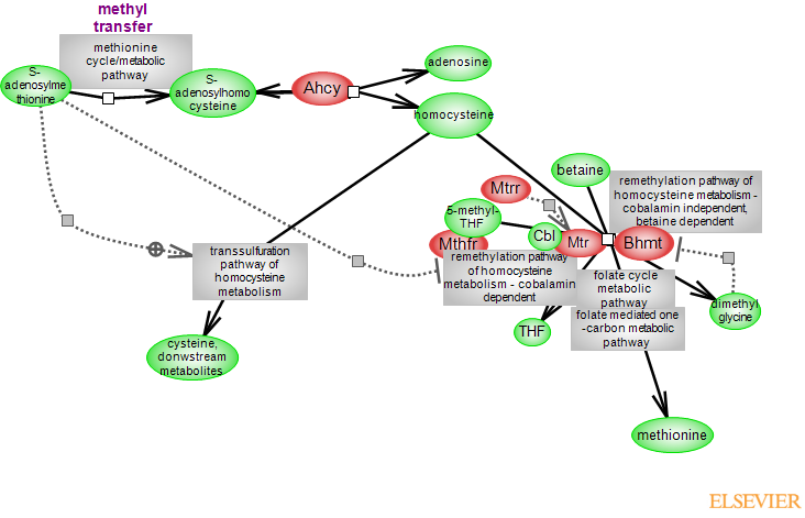 Homocysteine Metabolic Pathwayrat Genome Database