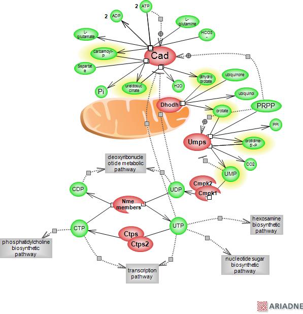 de novo pyrimidine biosynthetic pathwayrat genome database