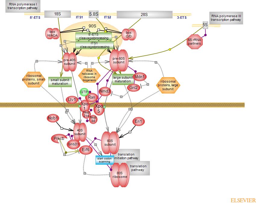 Ribosome Biogenesis Pathwayrat Genome Database