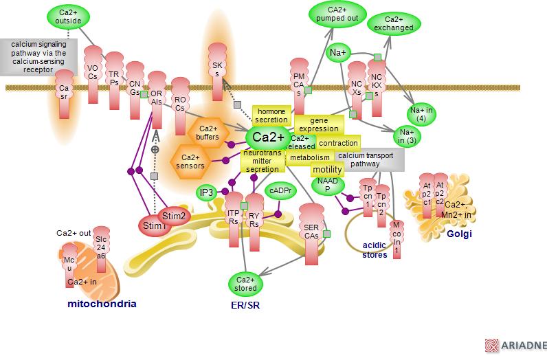 Calciumcalcium Mediated Signaling Pathwayrat Genome Database