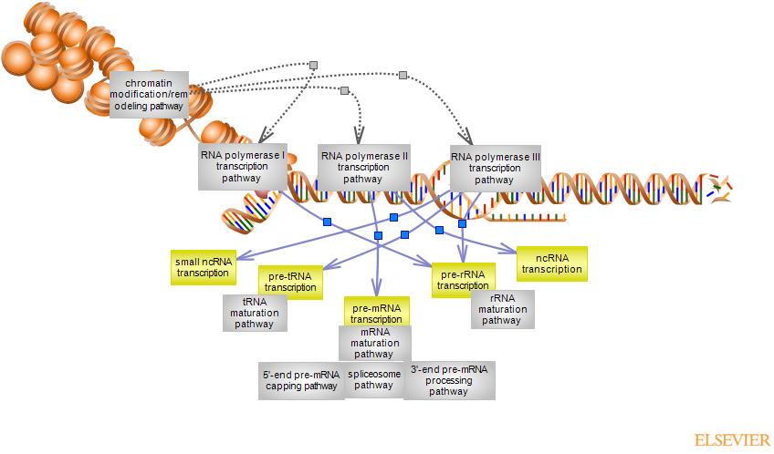 Eukaryotic Rna Polymerase Transcription Pathwayrat Genome Database