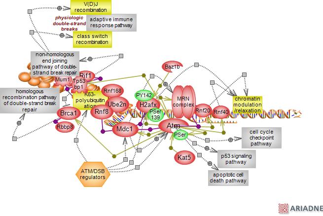 Ataxia telangiectasia mutated atm signaling pathwayrat genome database pathway diagram ccuart Choice Image